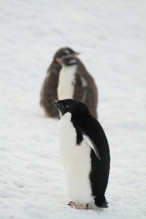 企鵝, 南極洲, 可愛 的 免費圖庫相片