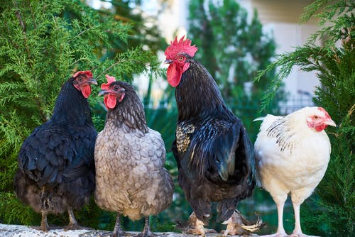Foto profissional grátis de animal, aves, aves domésticas, bicho