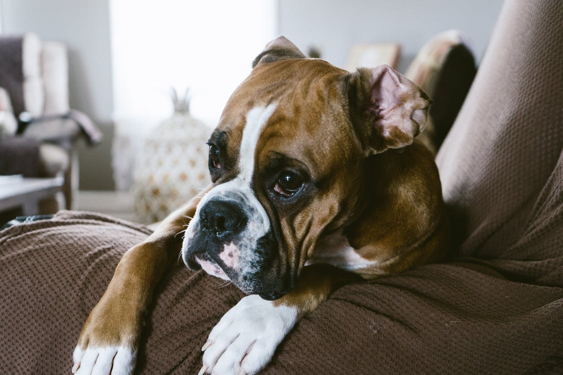 Fawn Boxer On Sofa Inside Room