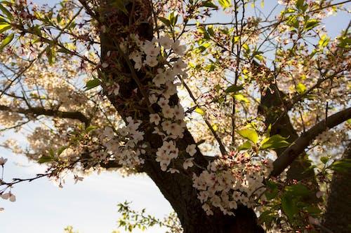 Free stock photo of blossom, cherry blossom, cherry blossoms, flower