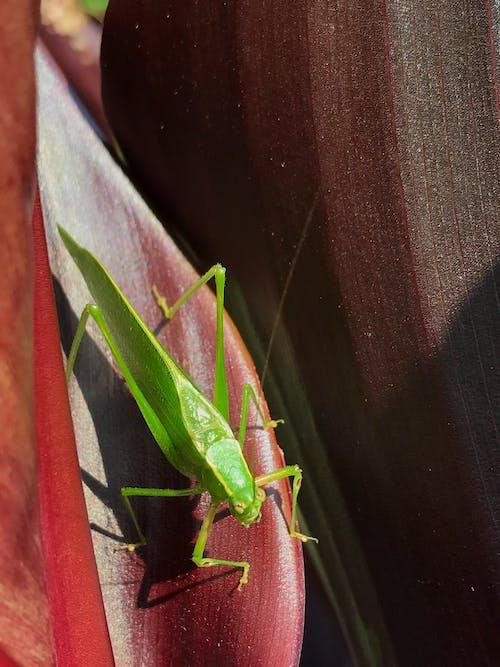 Foto profissional grátis de katydid