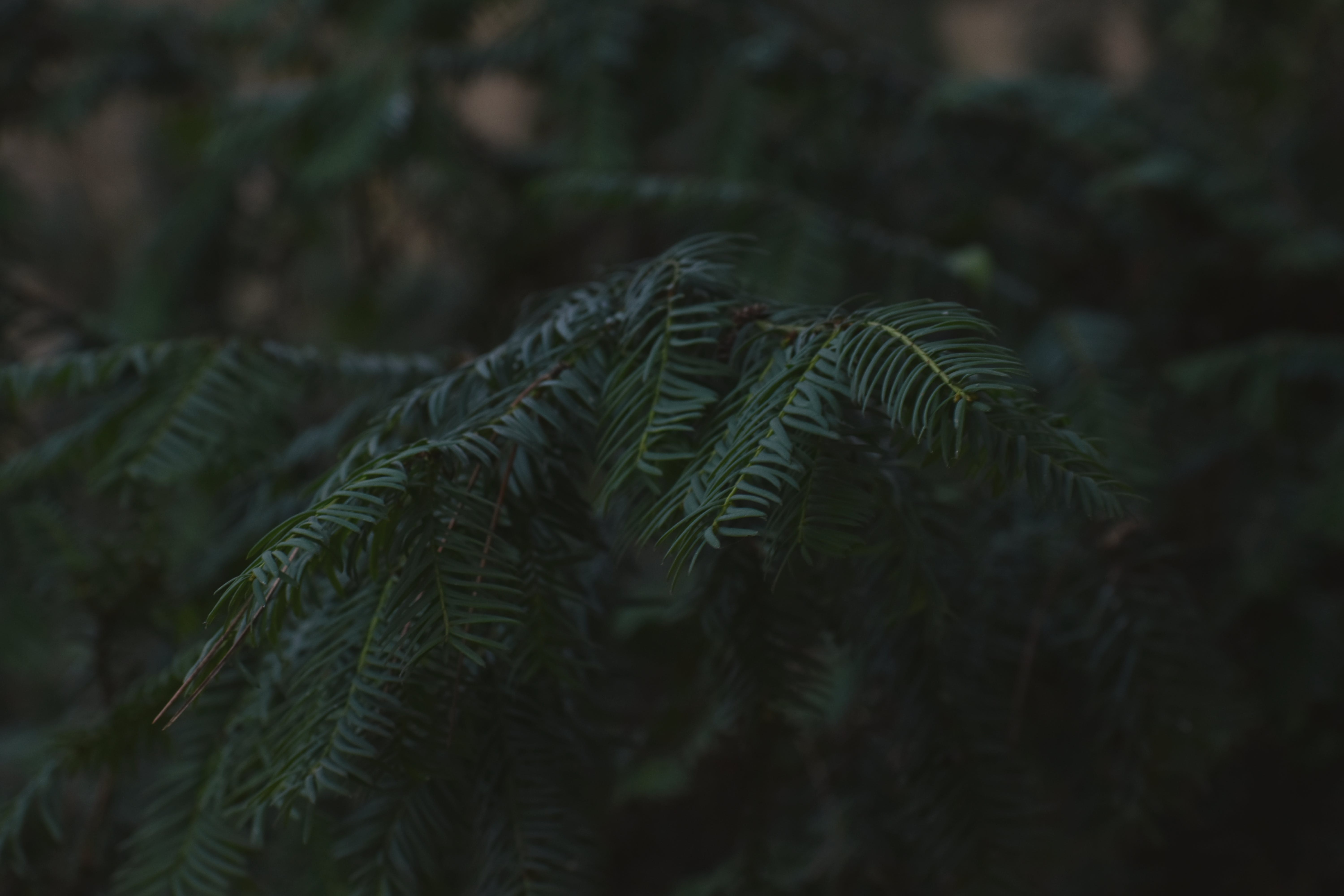 Selective Focus Photo of Green Pine Leaves