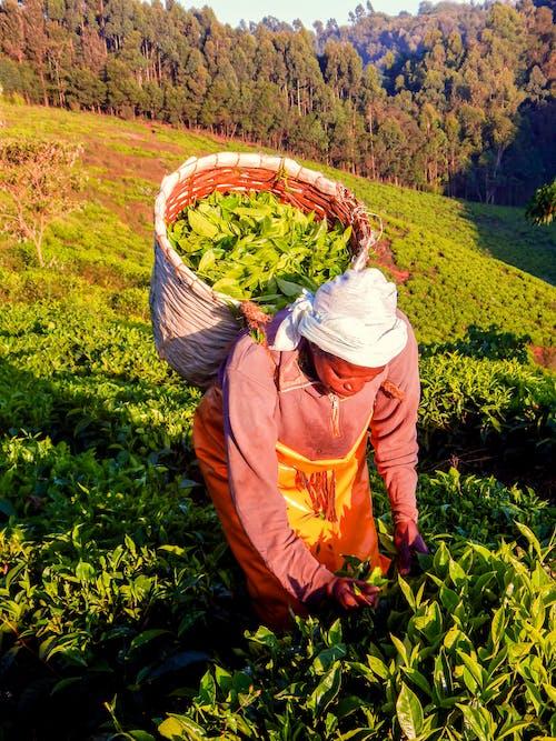 Ingyenes stockfotó betakarítás tea farm, kenya tea, teafarm, tigoni teafarm témában