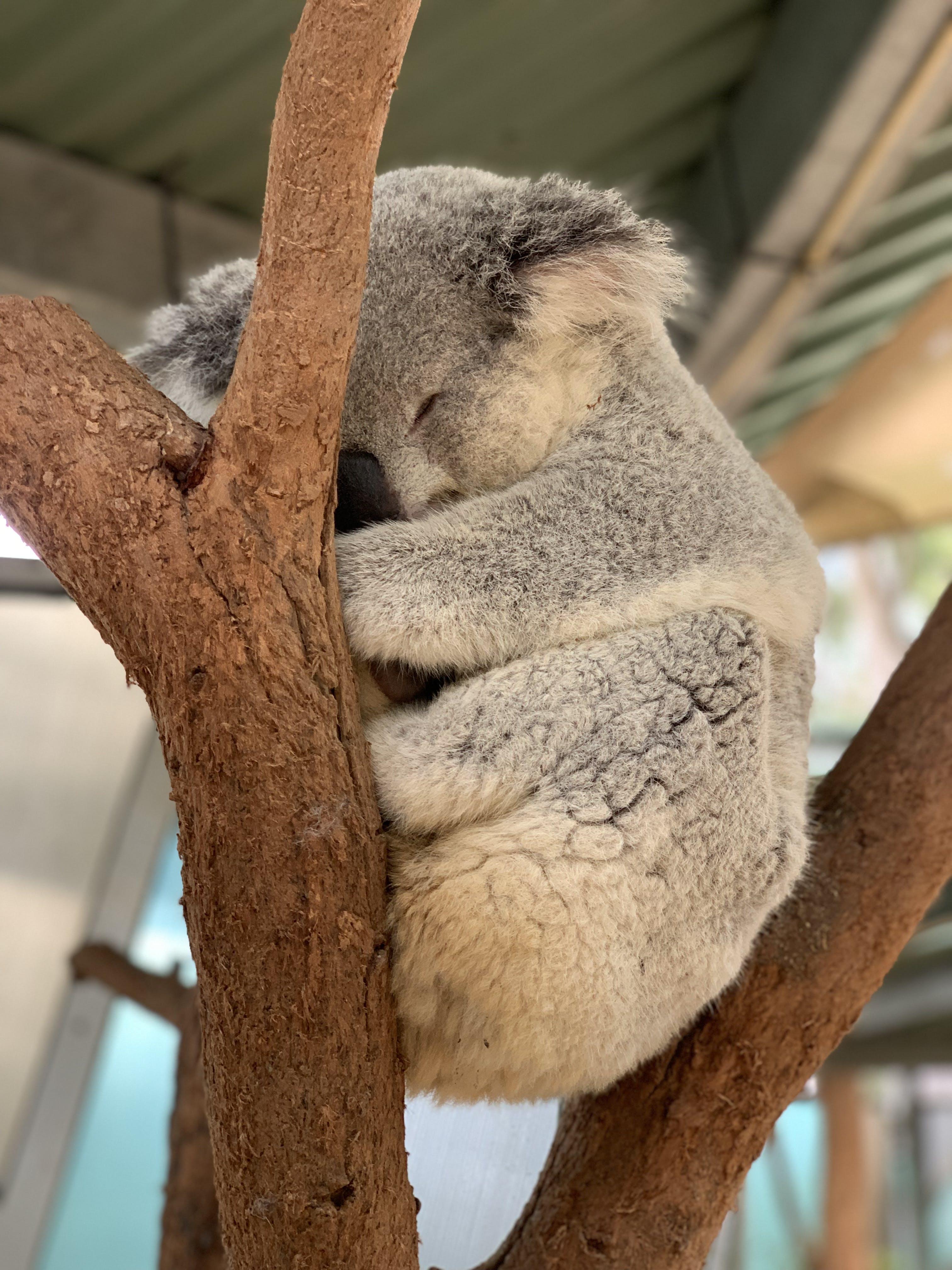 Sleeping Koala Bear On Tree