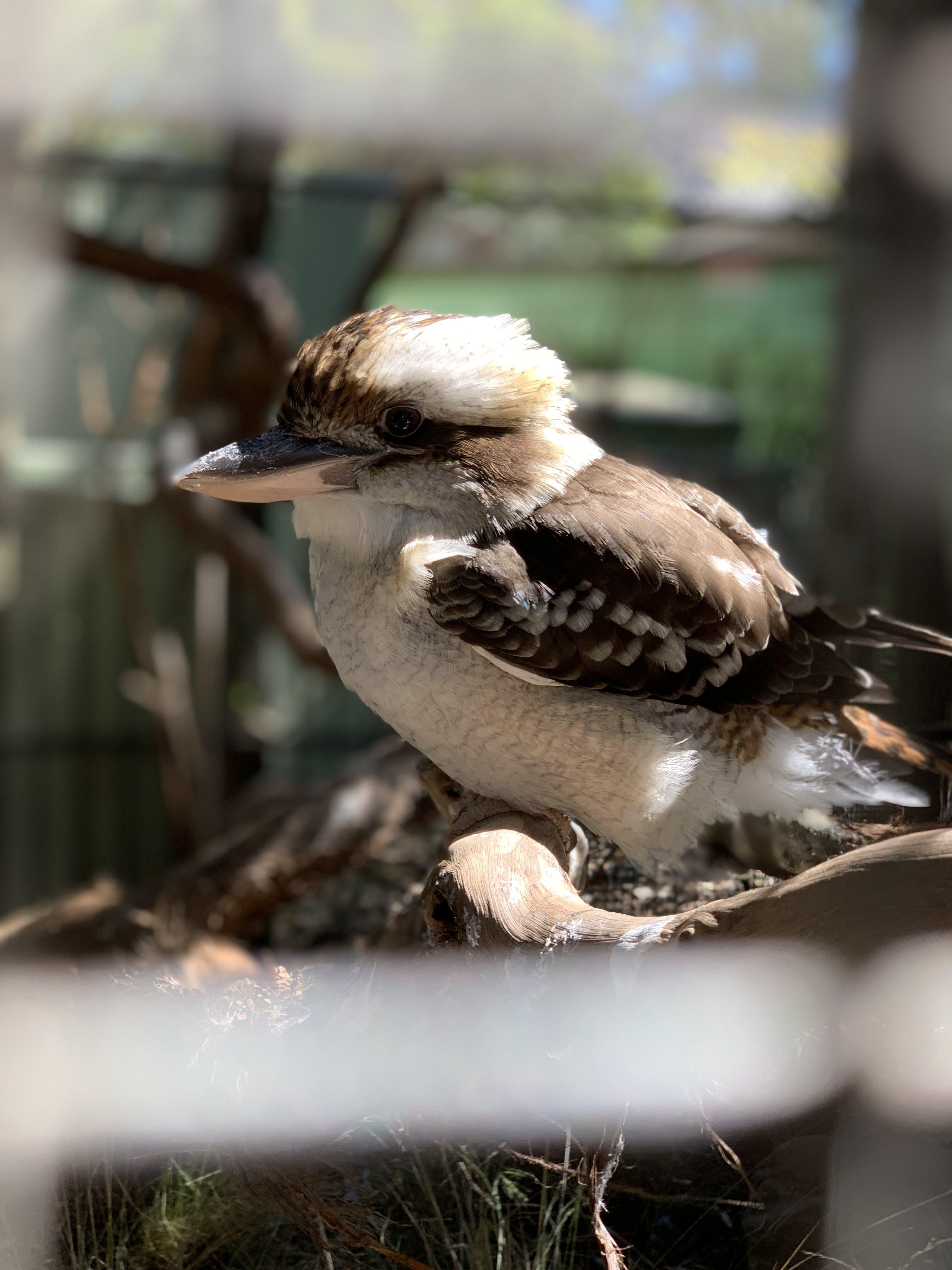Free stock photo of kookaburra