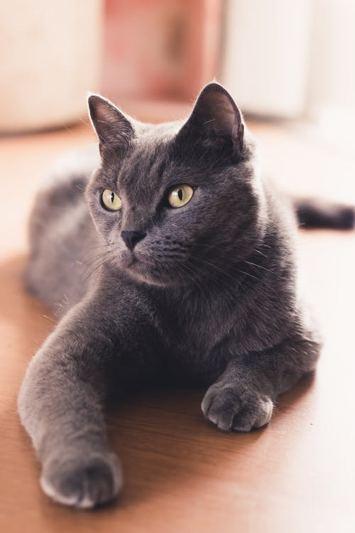 Close-up Photo of a Russian Blue Cat Lying Down