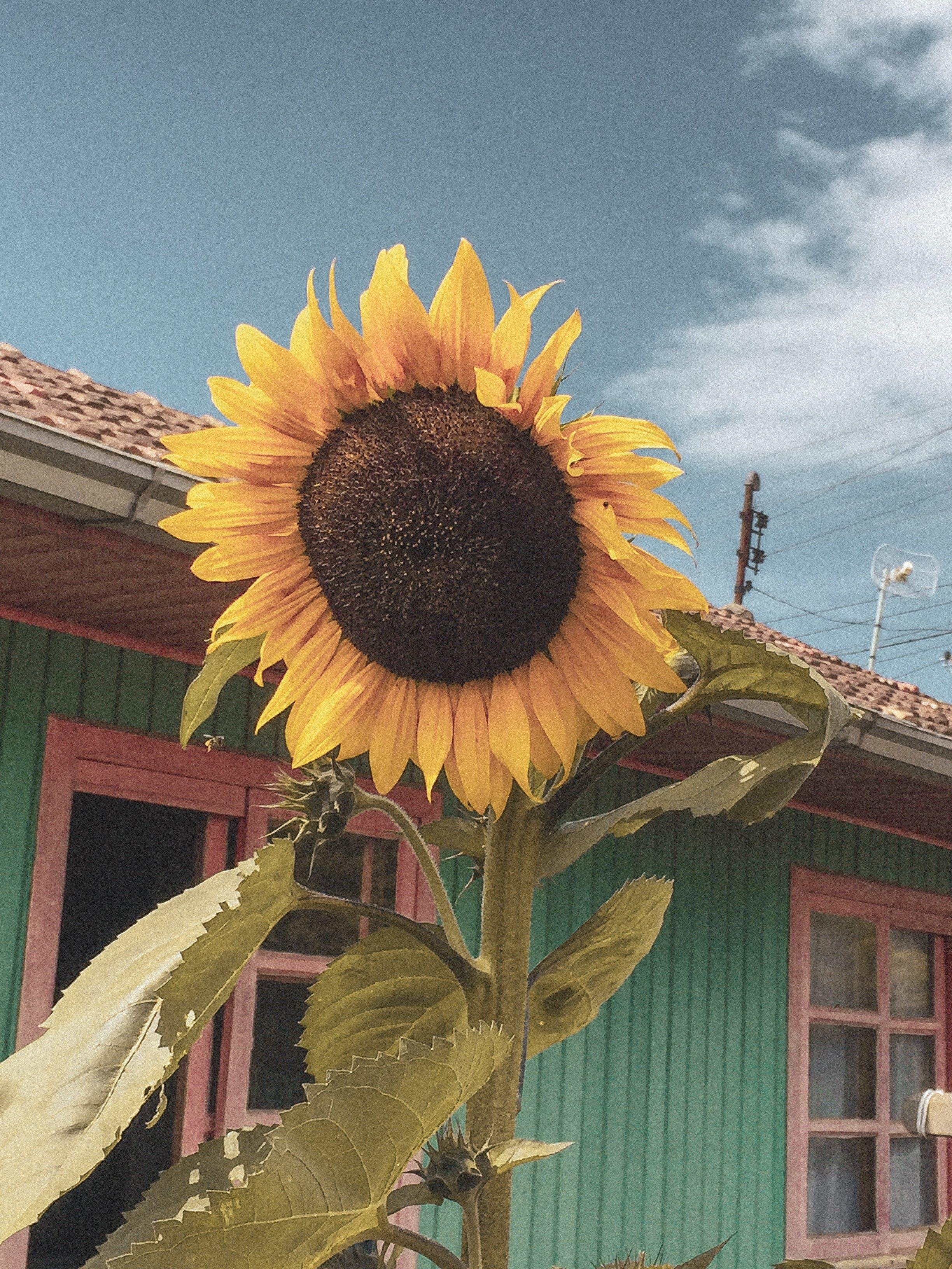 Free stock photo of flower, sunflower