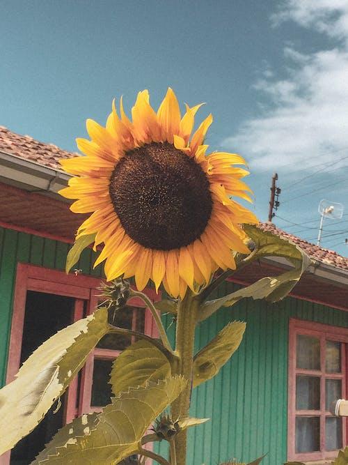 Základová fotografie zdarma na téma kytka, slunečnice