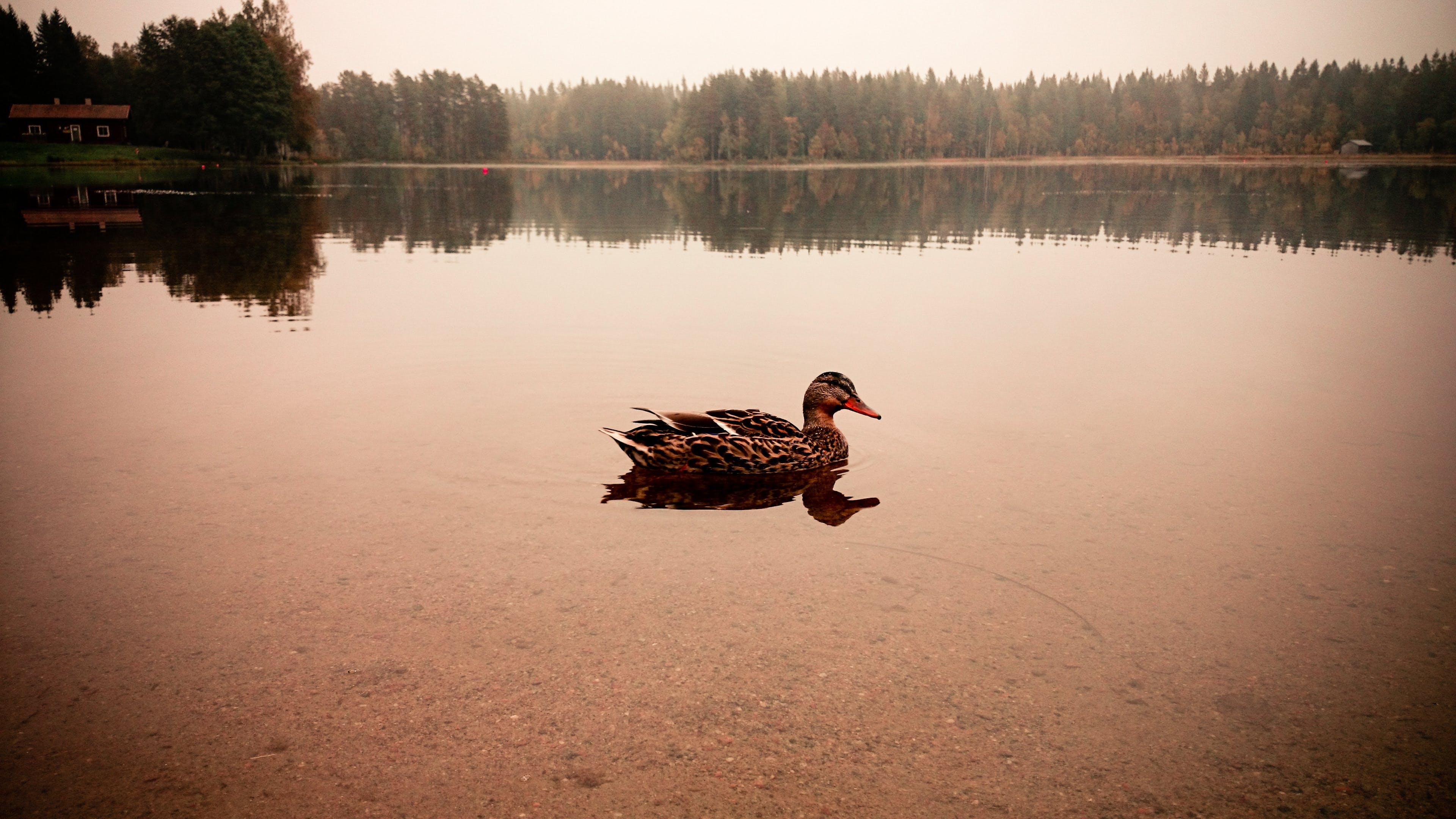 Free stock photo of animal, duck, nature