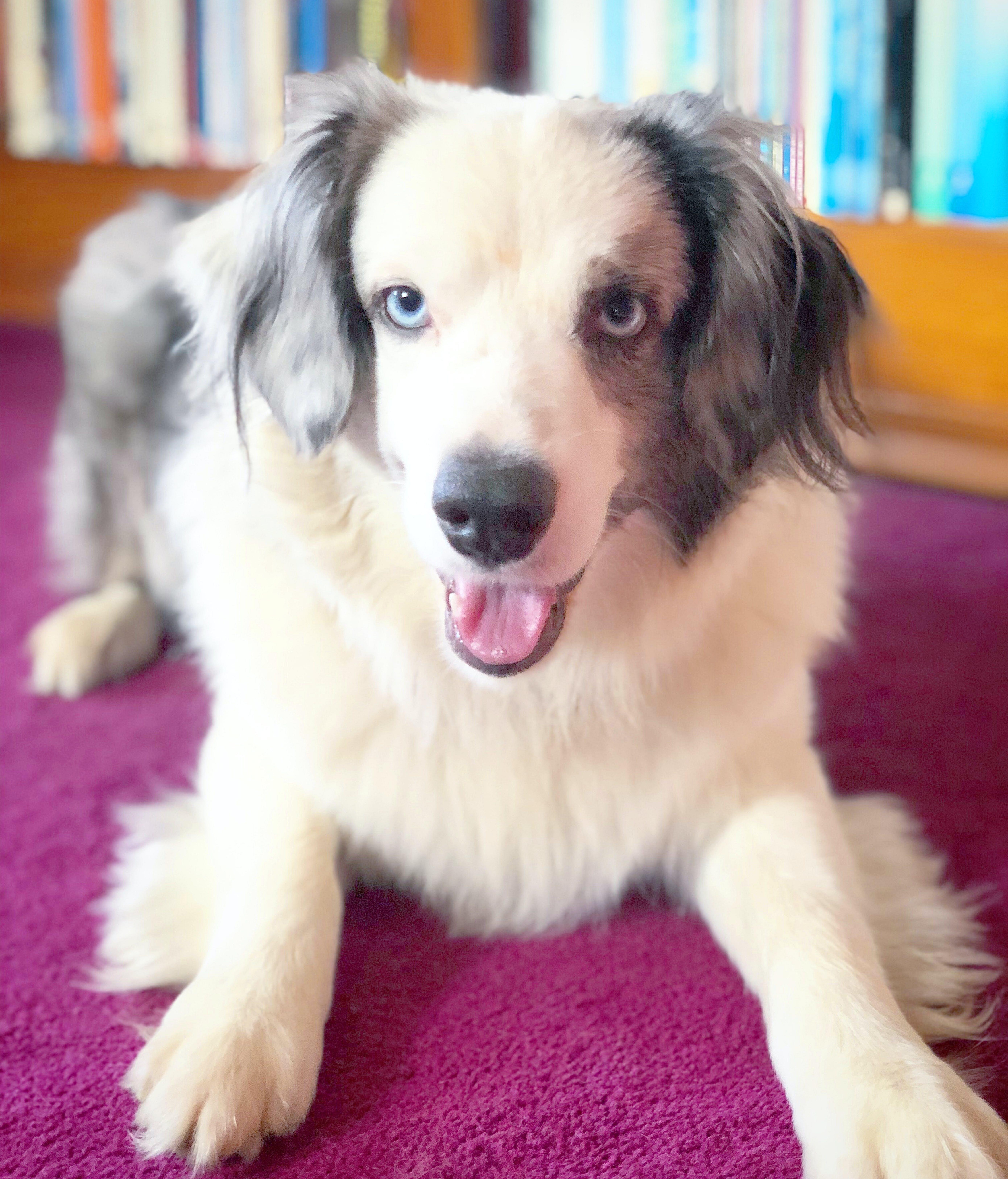 Free stock photo of animal, australian shepherd, blue eyes, blue merle