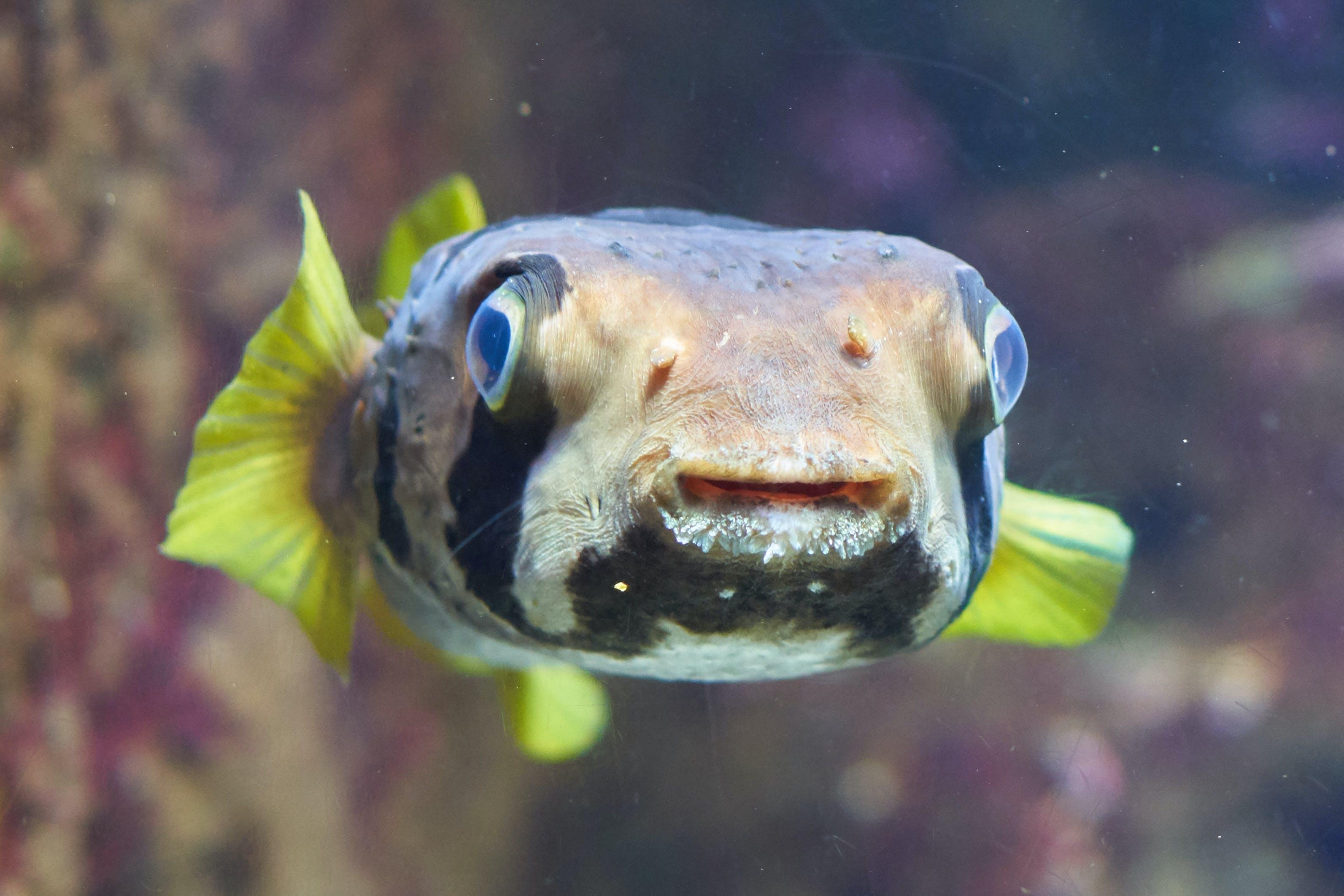 Free stock photo of animal, aquarium, aquatic, blowfish