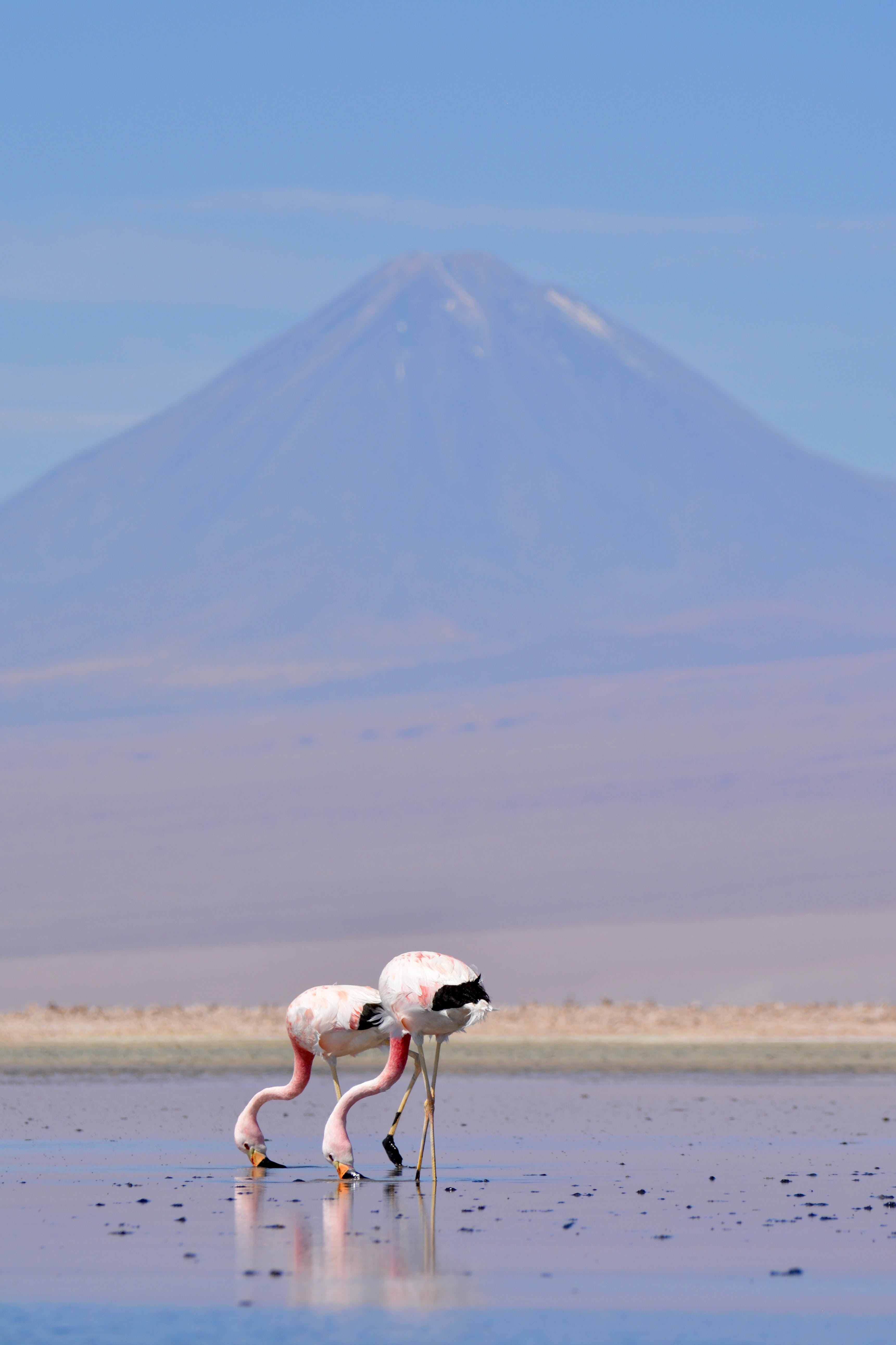 Selective Focus Photography of Two Flamingos