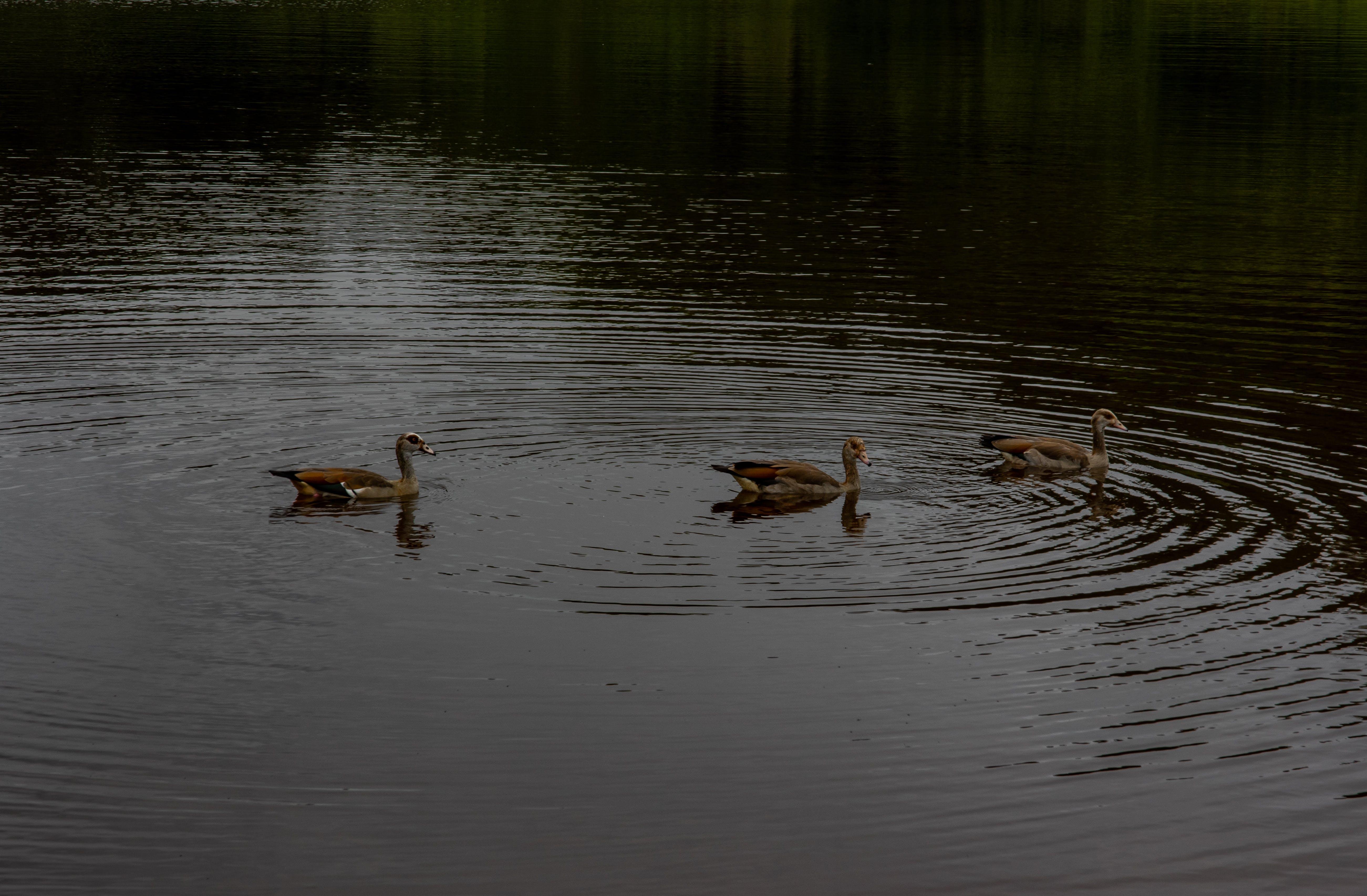 Free stock photo of animals, birds, country, ducks