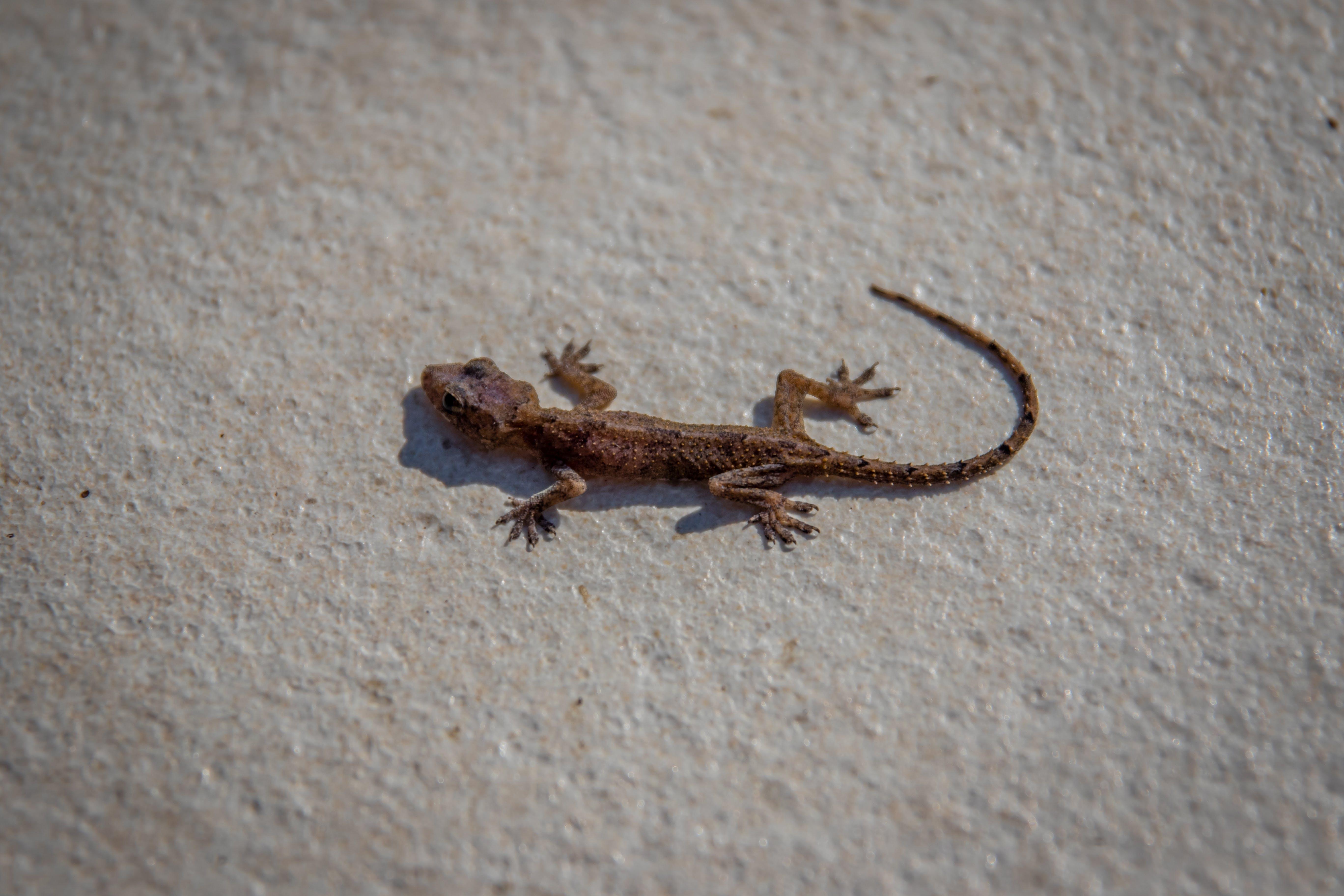 Free stock photo of animals, cute, cute animals, gecko