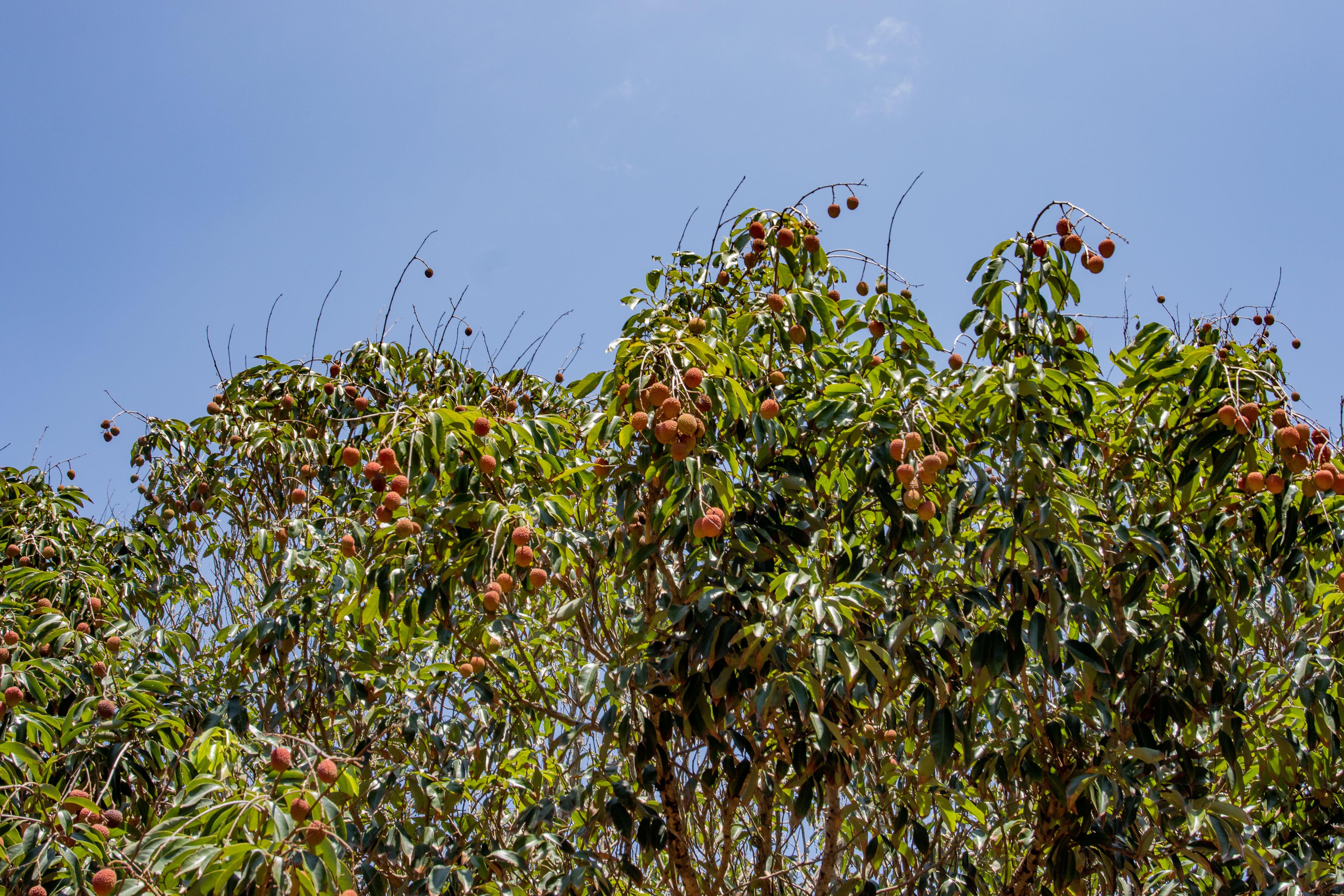 Free stock photo of blue sky, farm, food, fruit