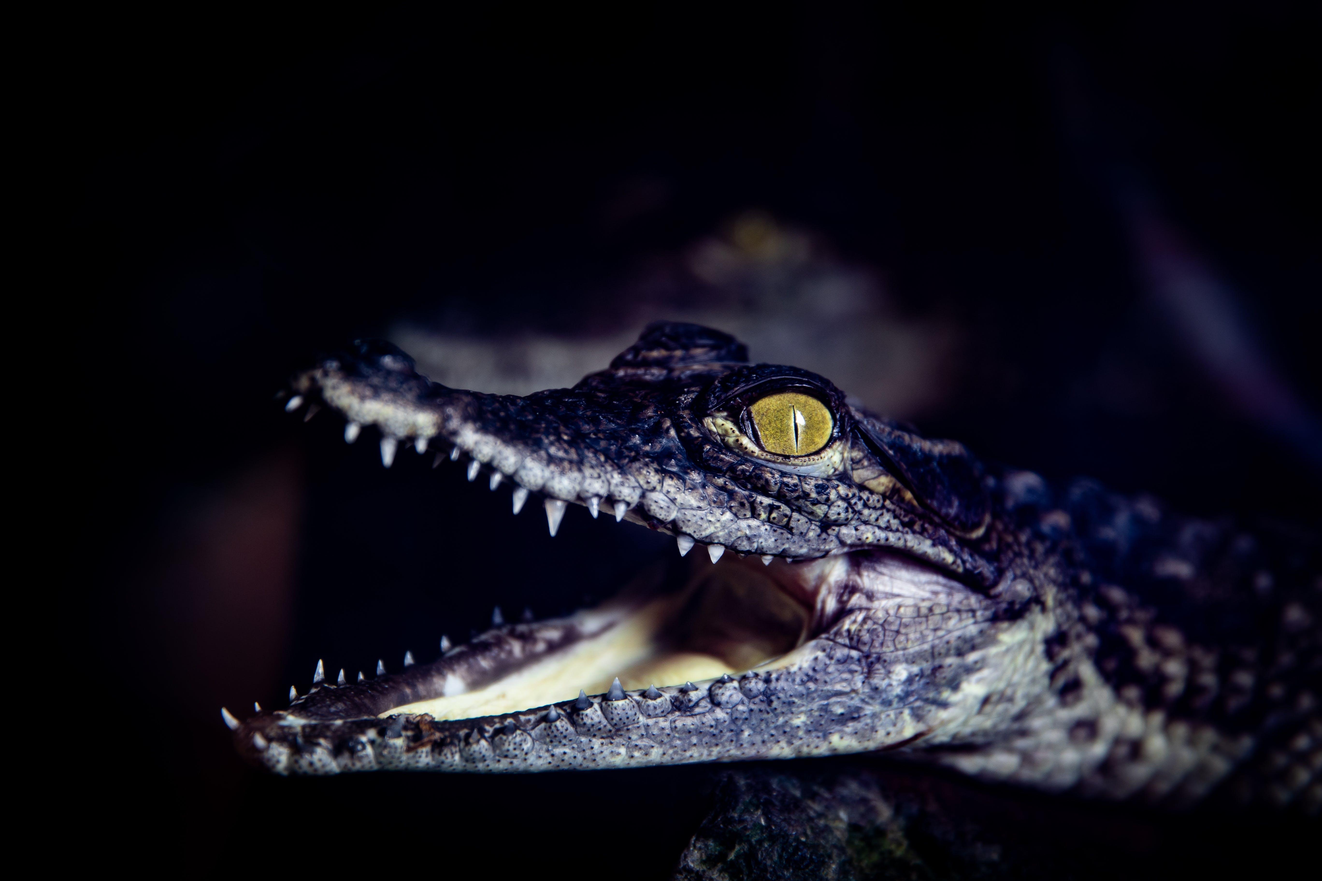 Free stock photo of alligator, animals, country, Crocodile