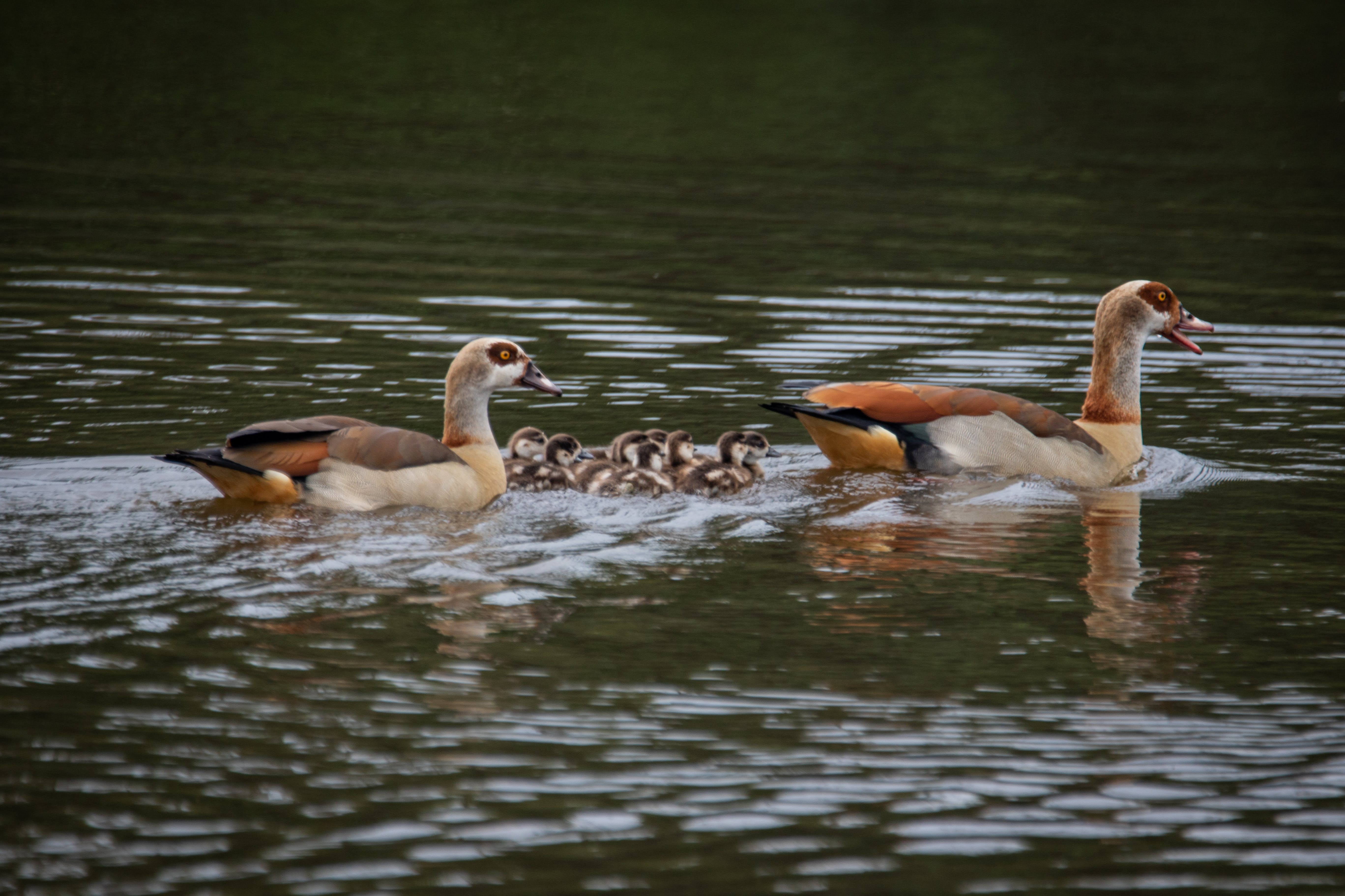 of animals, ducklings, ducks, family
