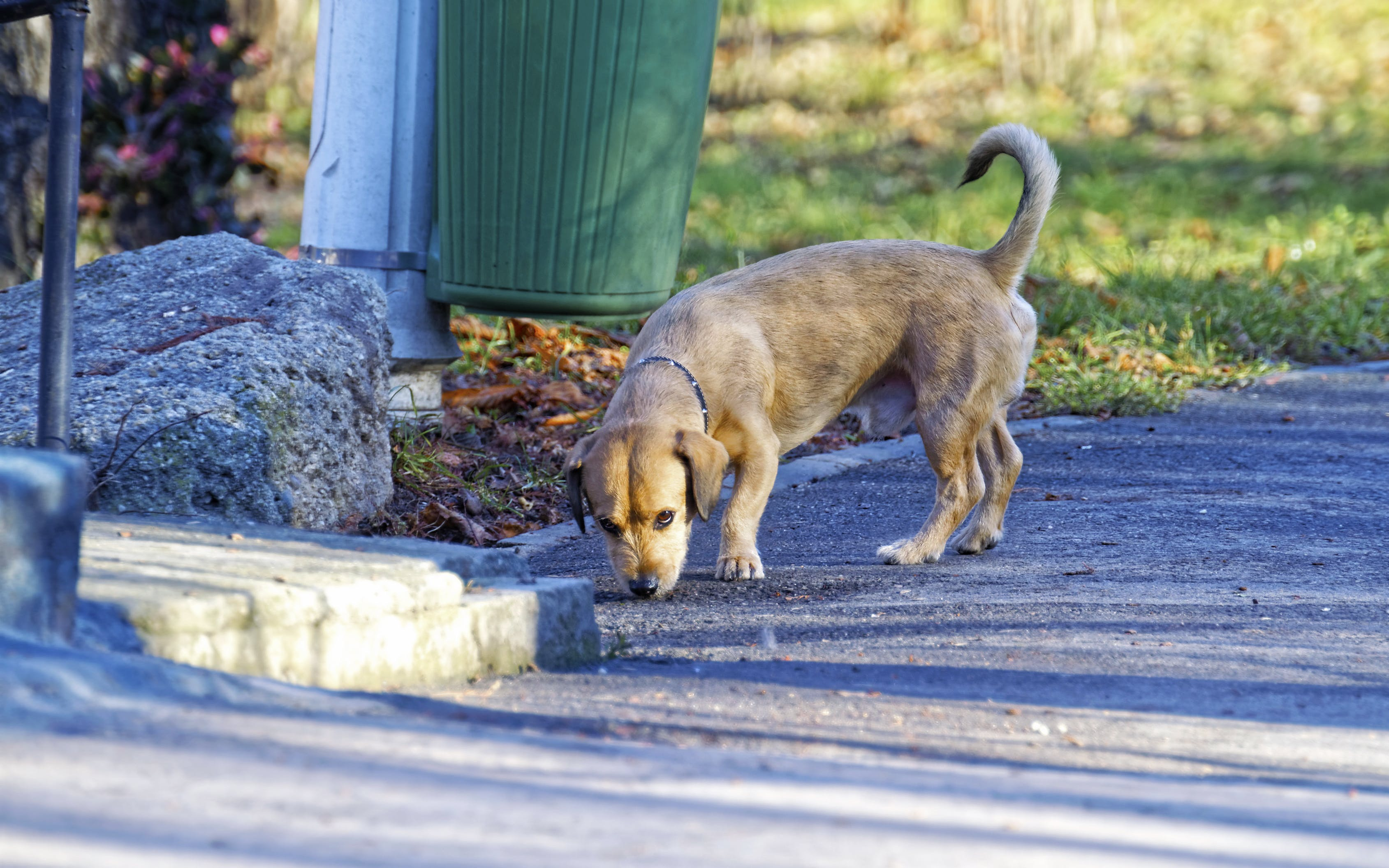 Free stock photo of asphalt, brown, dog, flowers