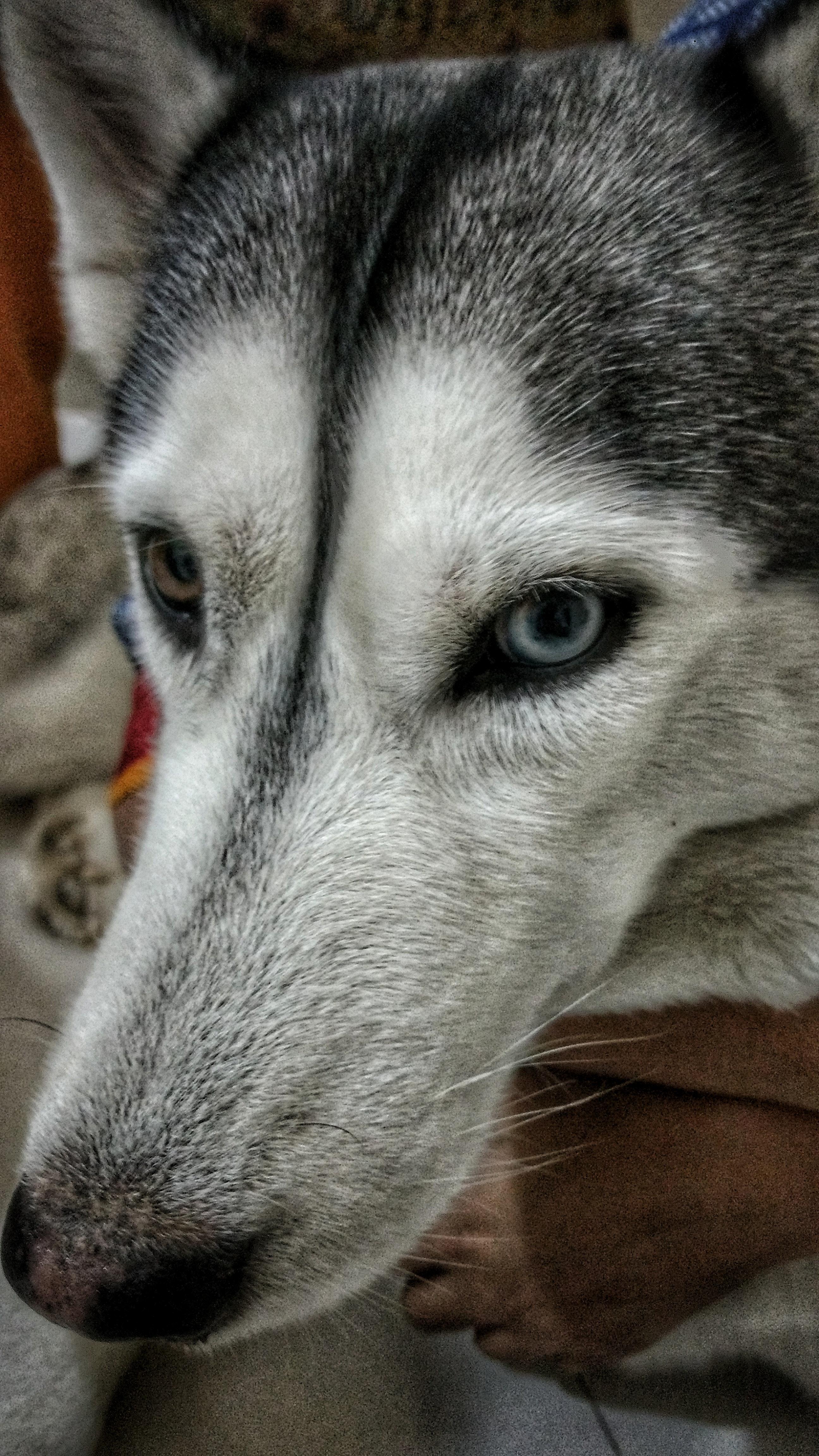 Foto Stok Gratis Tentang Anjing Anjing Husky Anjing Lucu