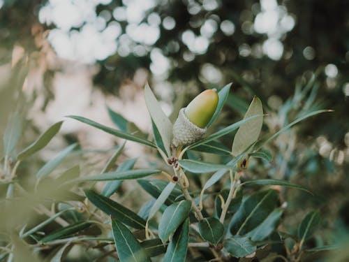 Foto d'estoc gratuïta de femella, florint, gla, planta