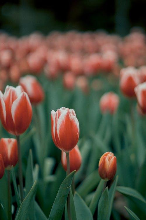 คลังภาพถ่ายฟรี ของ กระเปาะ, กลีบดอก, การเจริญเติบโต, กำลังบาน