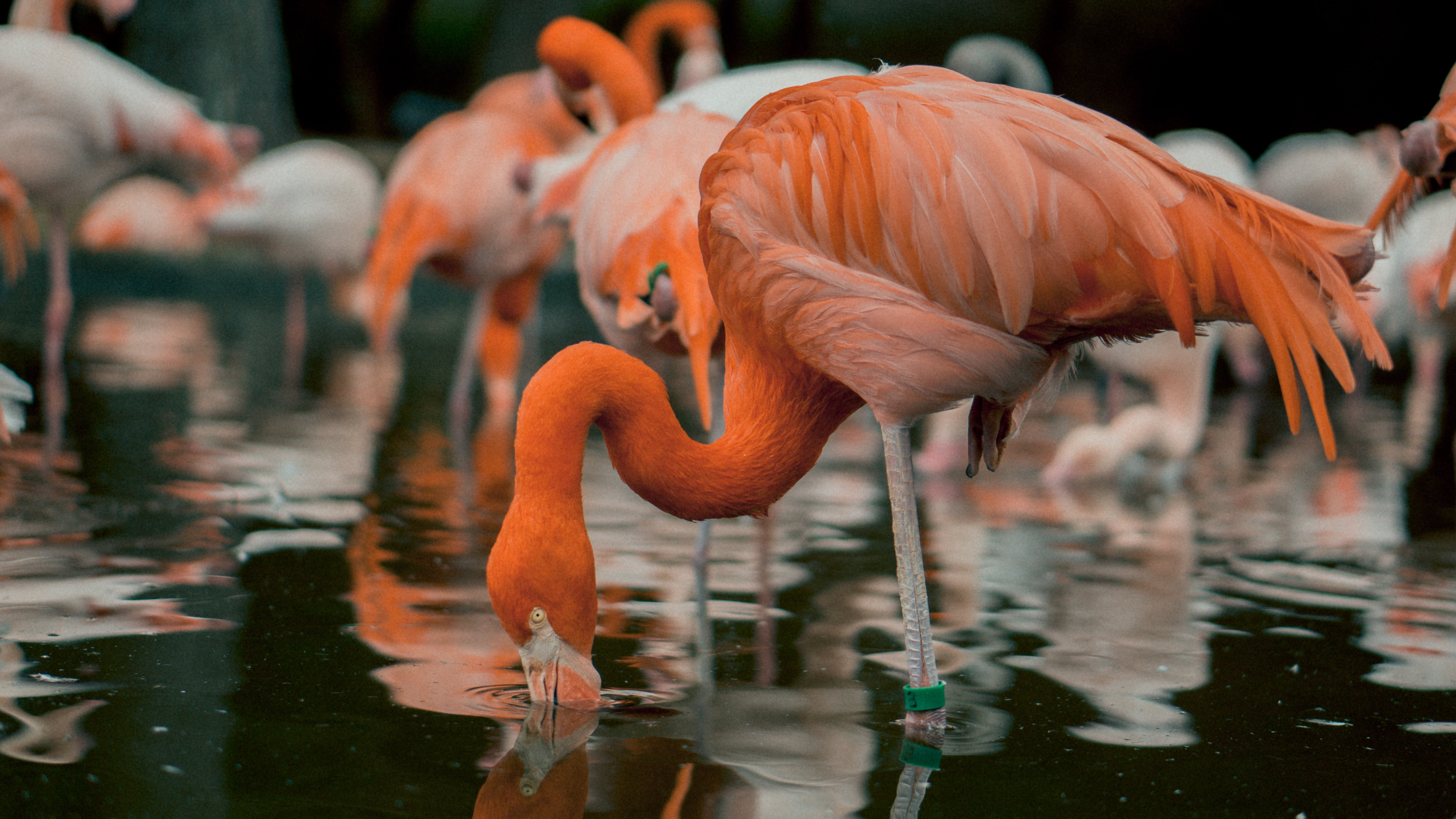 Flamingos Drinking Water