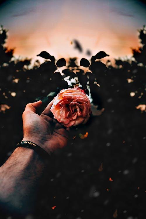 Ilmainen kuvapankkikuva tunnisteilla käsi, kasvikunta, kukinta, kukka