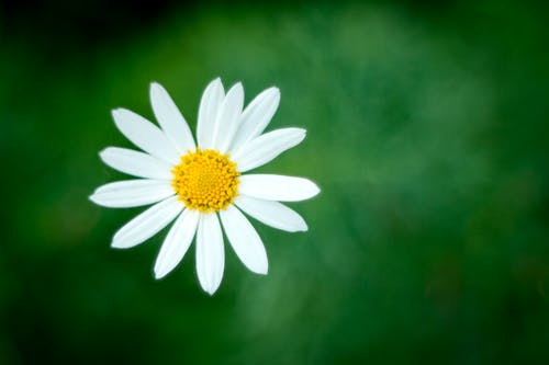Close-up Photography of White Daisy Flower in Bloom