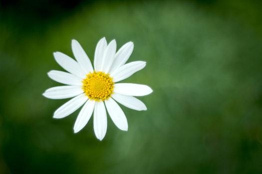 HD wallpaper of nature, flower, flora, daisy