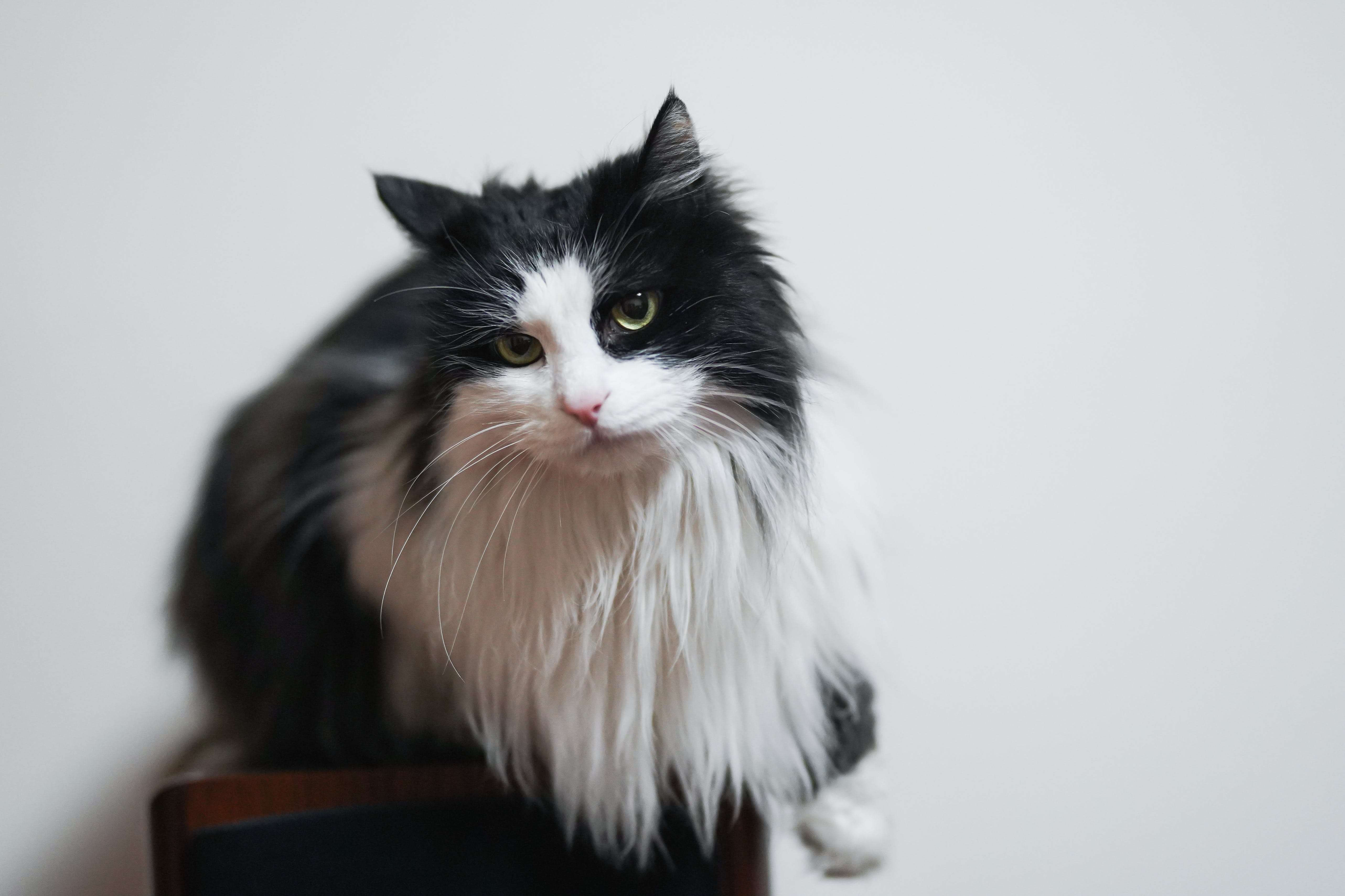 Fotobanka sbezplatnými fotkami na tému bicolor cat, cicavec, detailný záber, domáce zviera