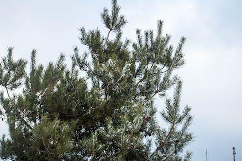Free stock photo of drzewo, mróz, snieg, świerk