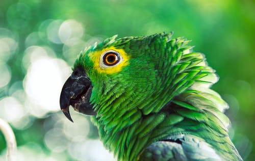 Green and Yellow Parrot