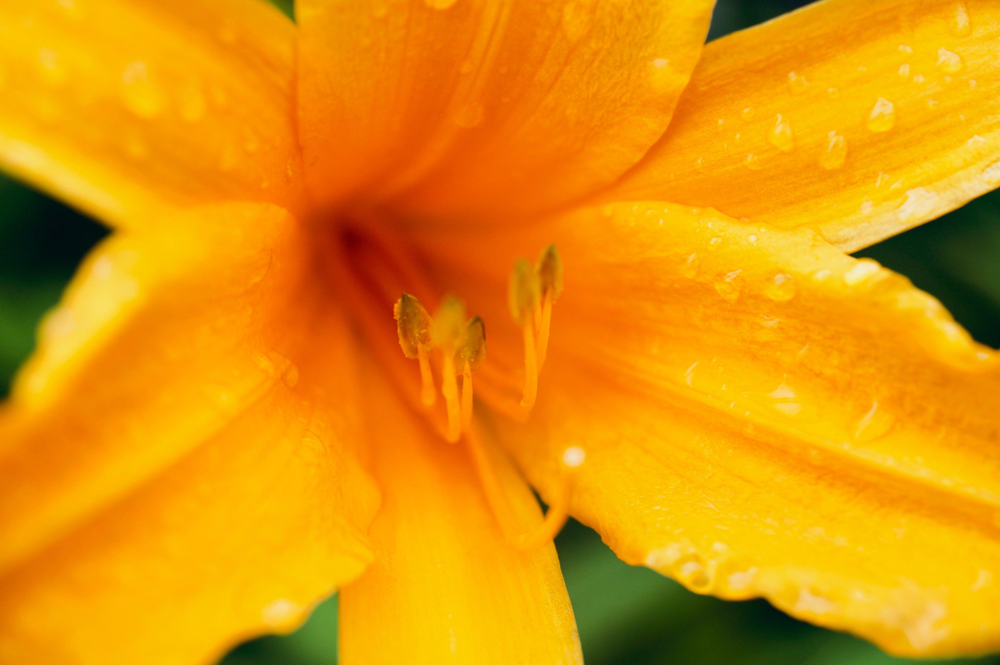 Free stock photo of droplets, flower, macro, orange