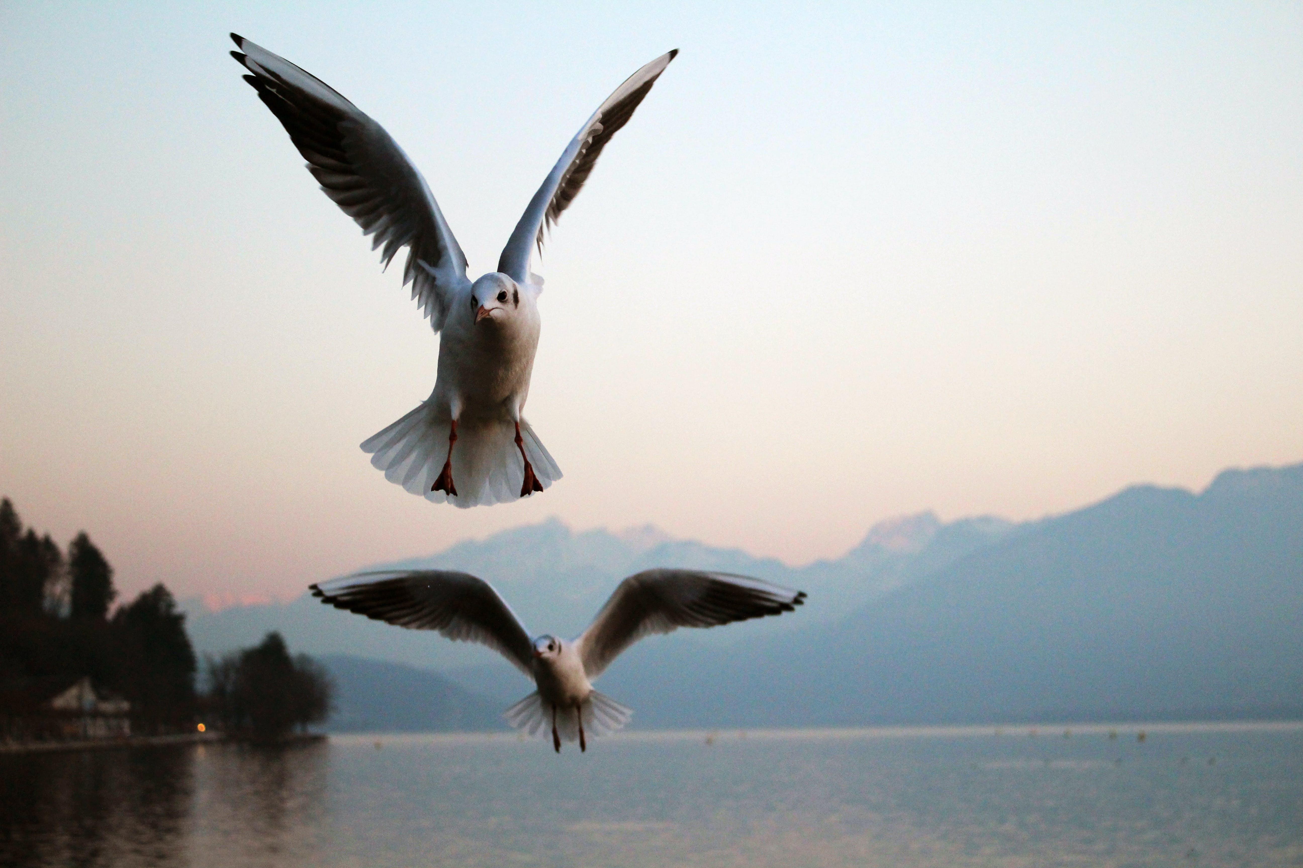 Free stock photo of bird, birds, flying, golden sunset