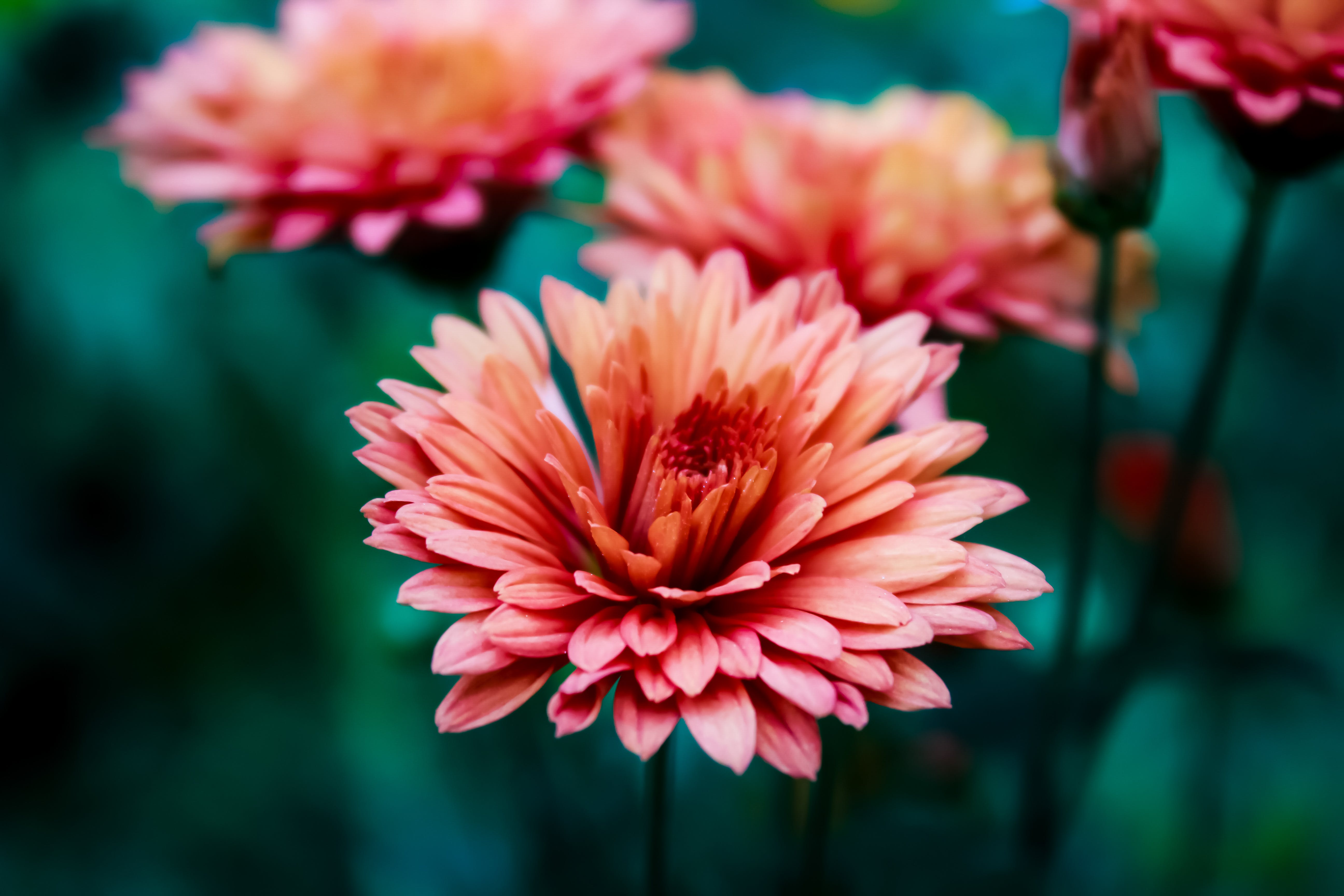 Free stock photo of 4k wallpaper, android wallpaper, beautiful flowers, bunch of flowers