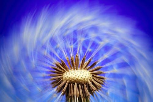 Kostnadsfri bild av blomma, flora, maskros, maskrosfrön
