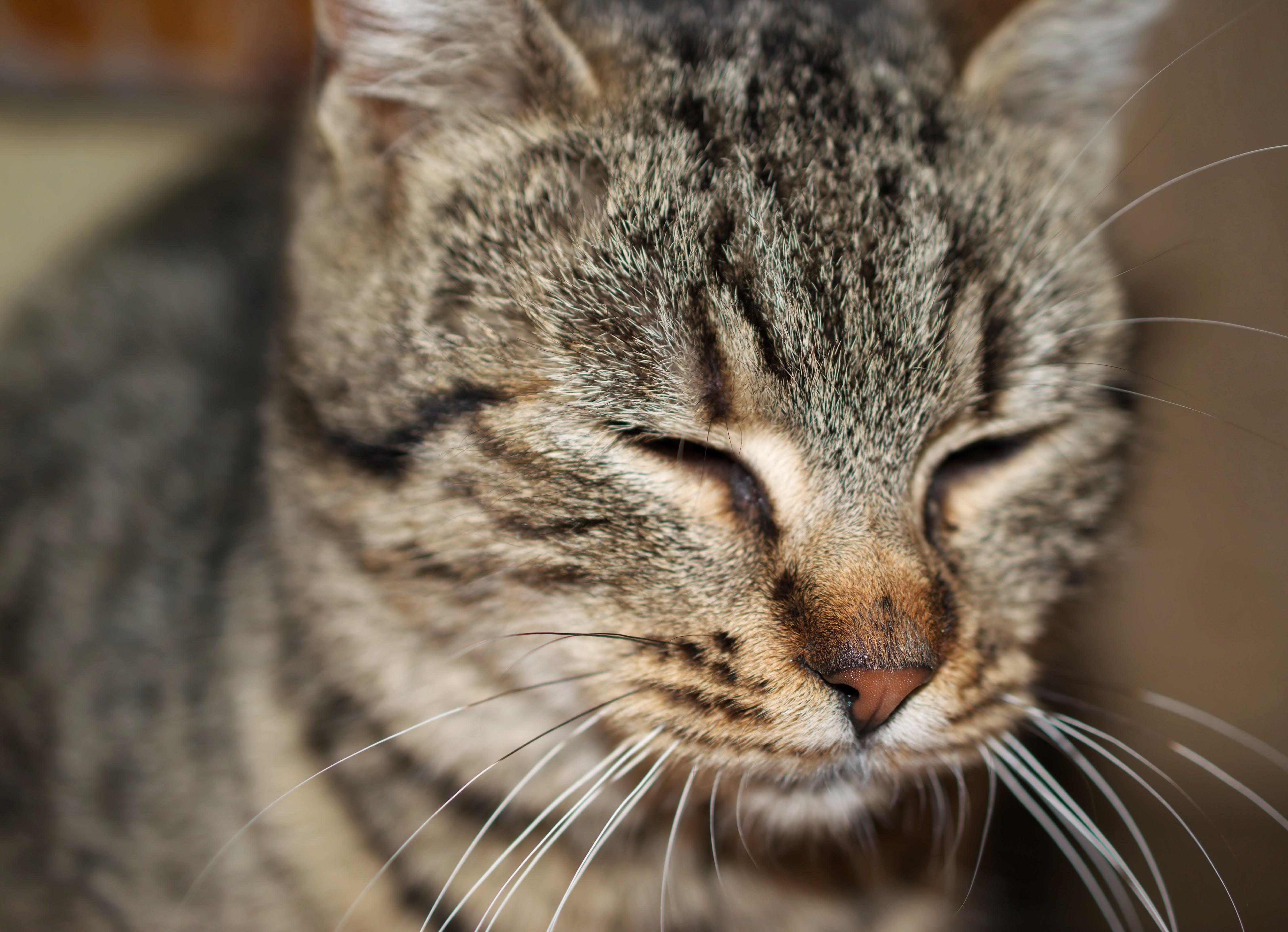 Free stock photo of animal, close-up, closed eyes, cute