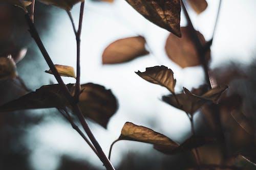 Безкоштовне стокове фото на тему «великий план, коричневий, листя, осіннє листя»