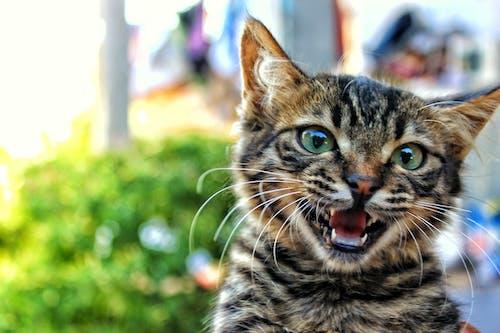 Kostnadsfri bild av djur, husdjur, katt, kattunge