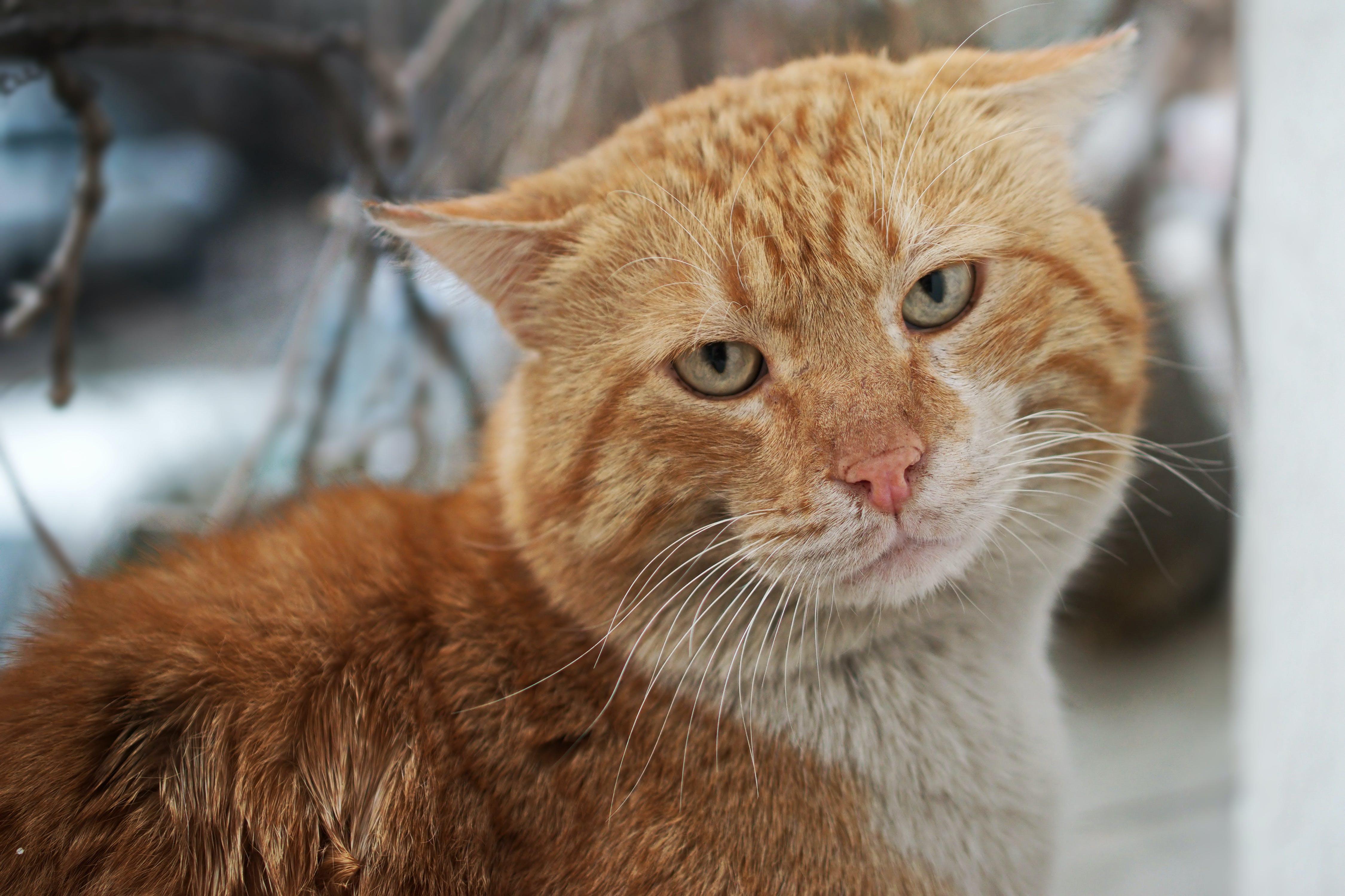 Free stock photo of blonde, cat, close-up, feline