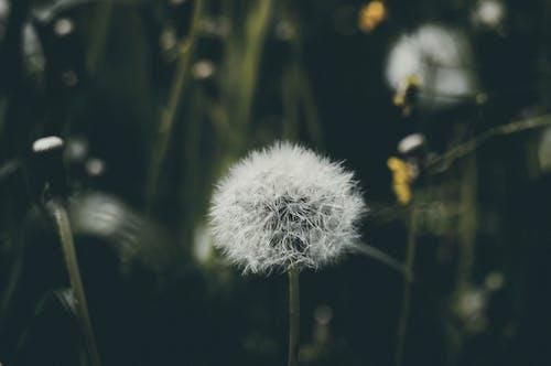 Foto stok gratis berkembang, bunga, dandelion, flora