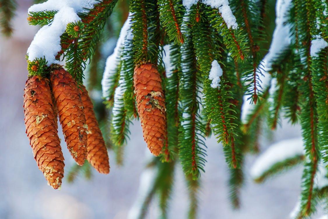 abeto, árbol, conífera
