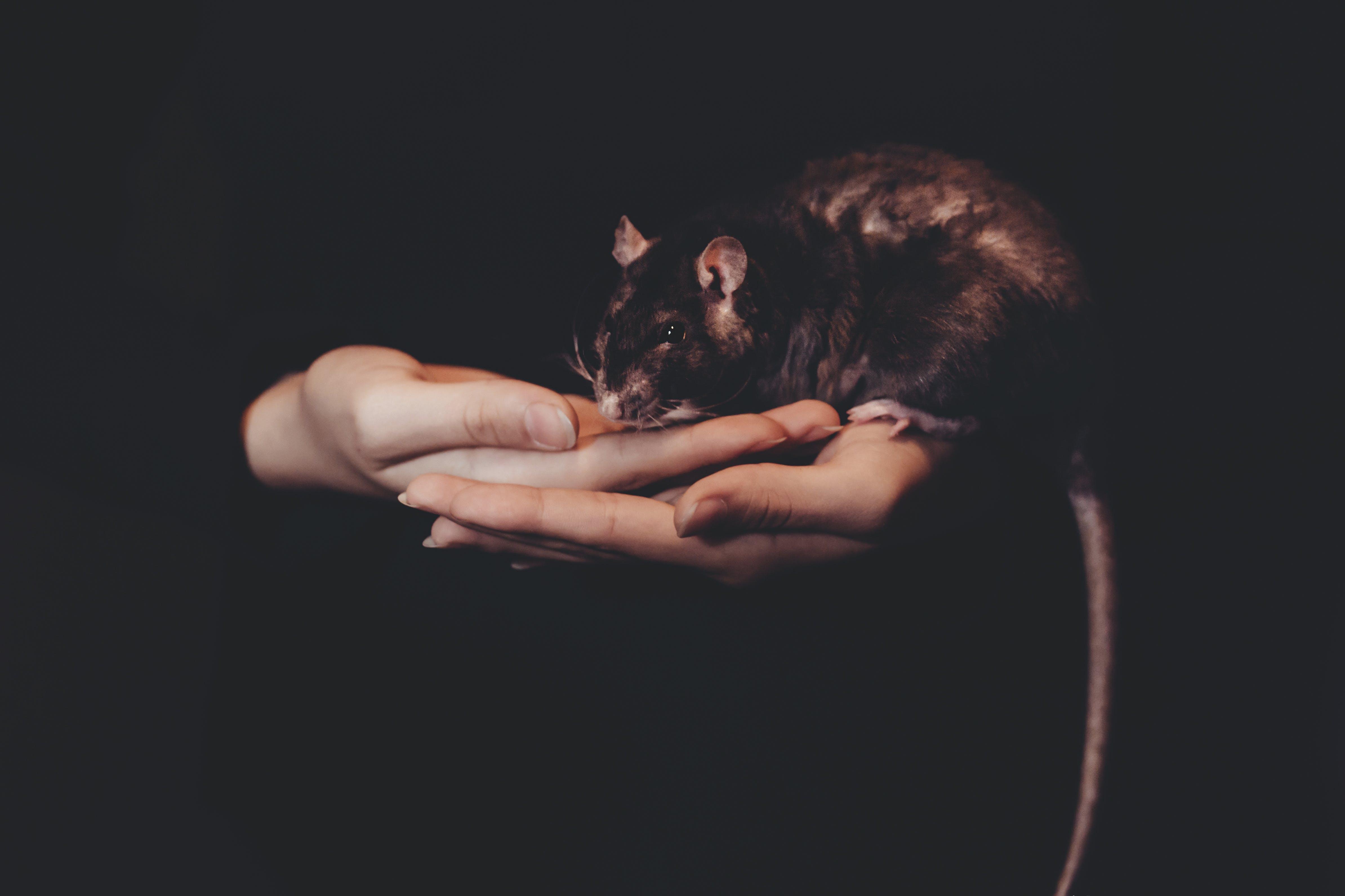 Foto stok gratis gelap, hewan peliharaan, hewan pengerat, tangan