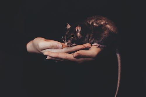 Kostnadsfri bild av gnagare, händer, husdjur, mörk