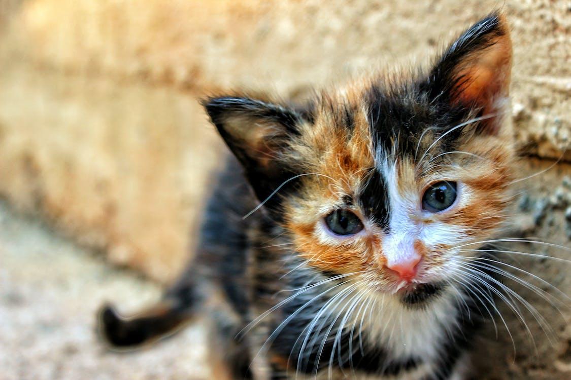 Close-up Photography of Tortoiseshell Kitten