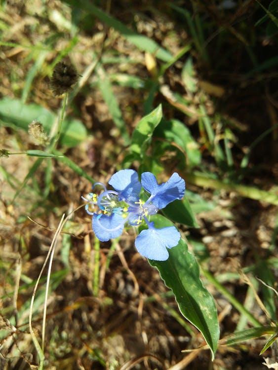 Imagine de stoc gratuită din flori albastre