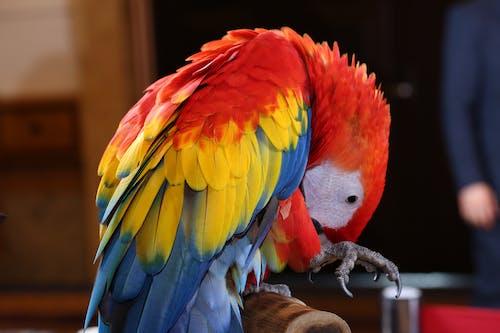 Free stock photo of brazilian rio rainforest 01, Scarlet macaw Tropical BIRD