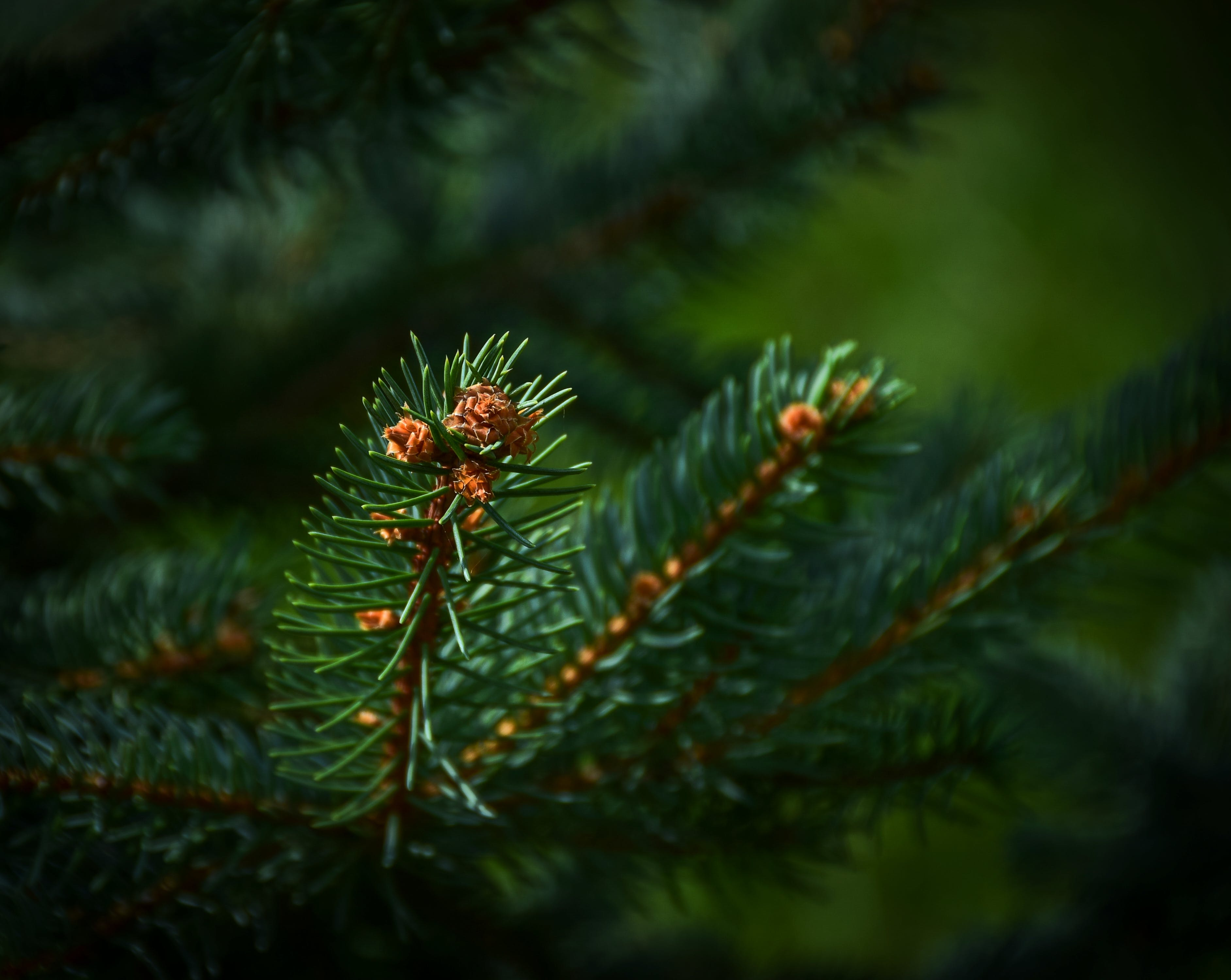Free stock photo of evergreen tree, fir tree, forest, green