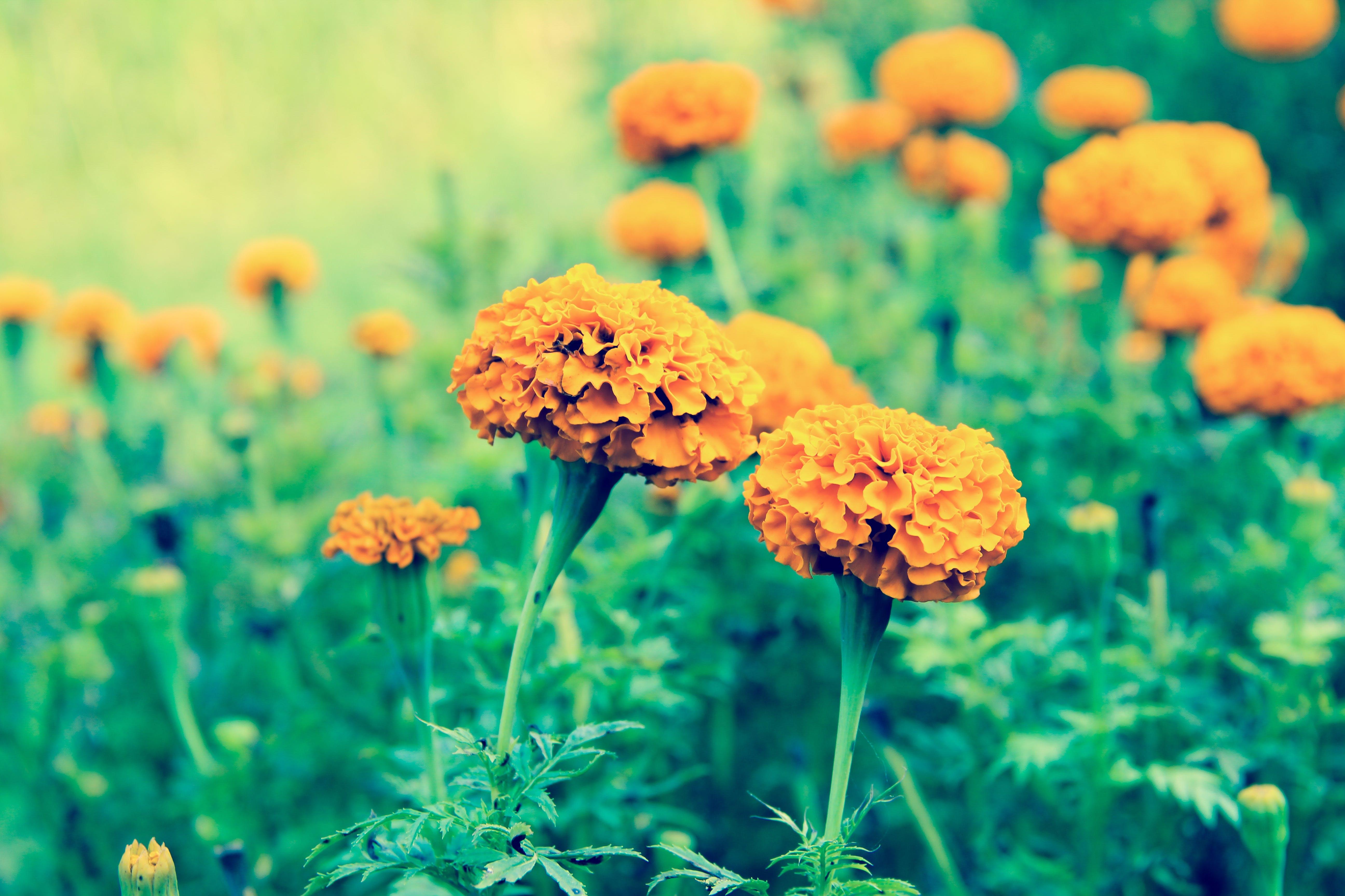 Základová fotografie zdarma na téma krásné květiny, květinová zahrada, kytka, oranžová květina