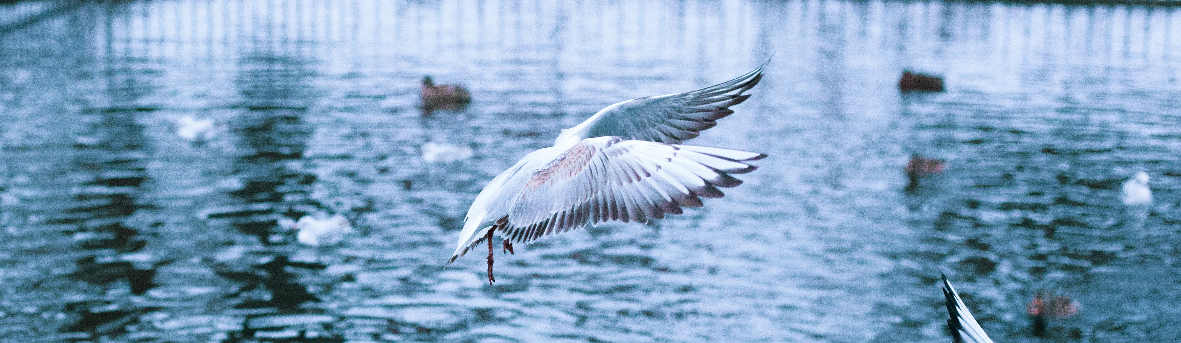 Free stock photo of birds, lake, water
